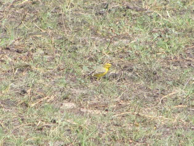 Yellow Chat-male (3)
