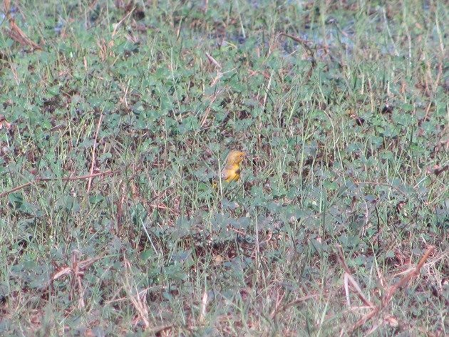 Yellow Chat-male (4)