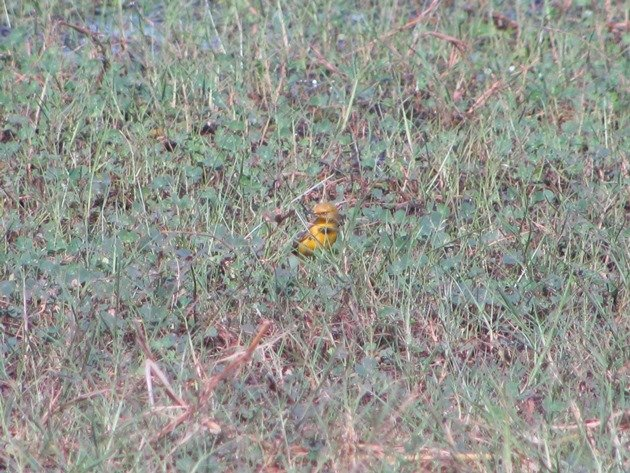 Yellow Chat-male (5)