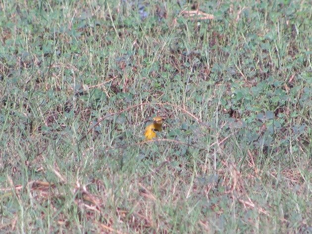 Yellow Chat-male (6)