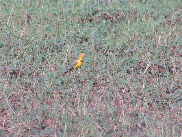 Yellow Chat-male (7)