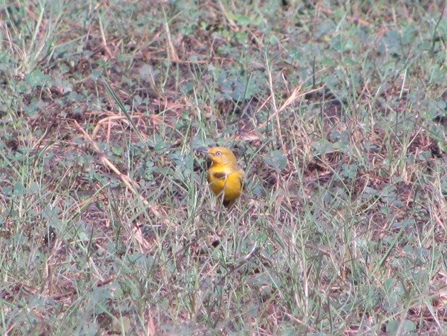Yellow Chat-male (9)