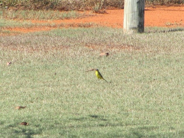 Yellow Wagtail (3)