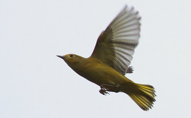 Yellow Warbler flycatching