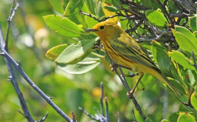 Yellow Warbler in Culebrita