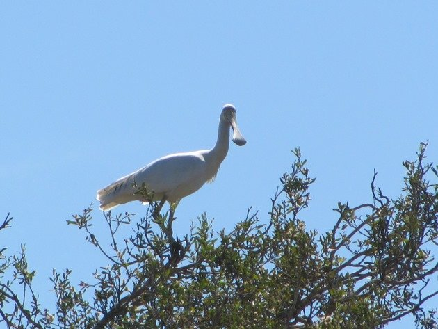 Yellow-billed Spoonbill (2)