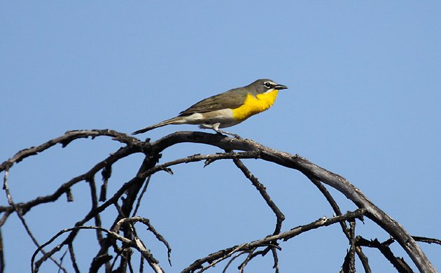 Yellow-breasted Chat in California