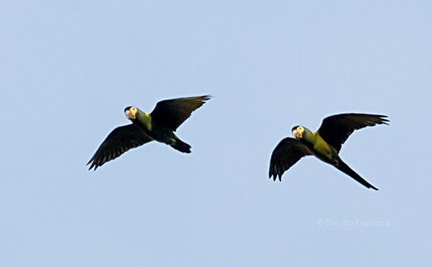Yellow-collared Macaws Flying