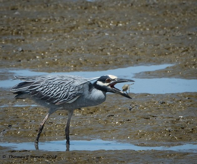 Yellow-crowned Night Heron (1)