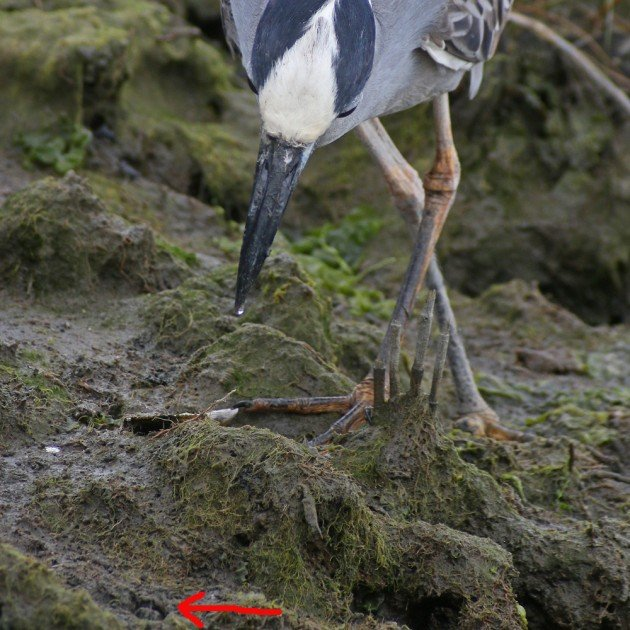 Yellow-crowned Night-Heron about to capture a crab