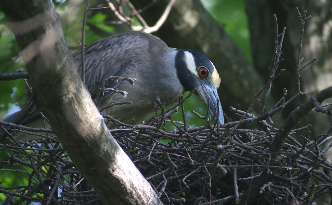 Yellow-crowned Night-Heron at nest