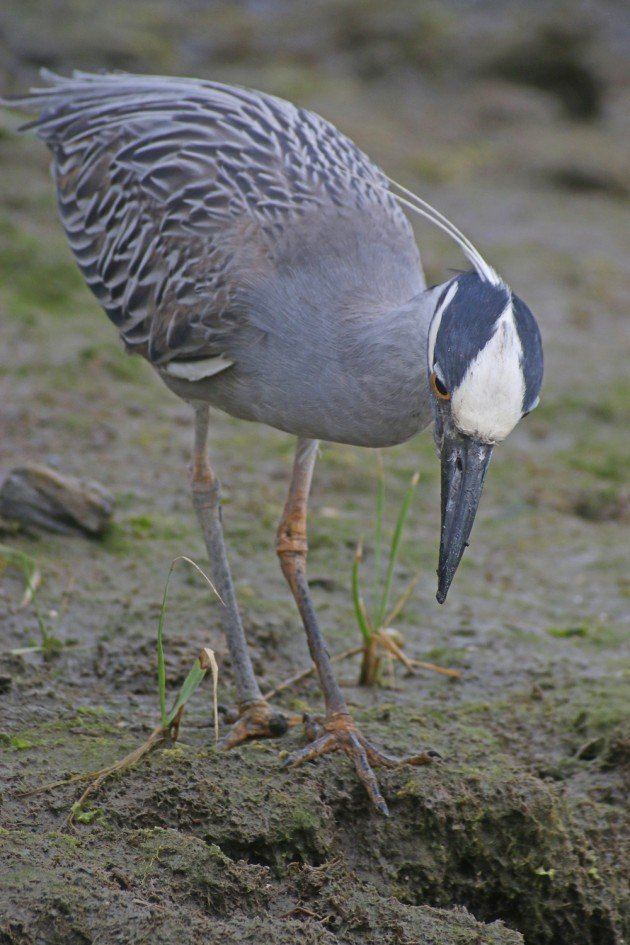 Yellow-crowned Night-Heron hunting