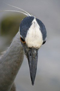 Yellow-crowned Night-Heron looking down close up