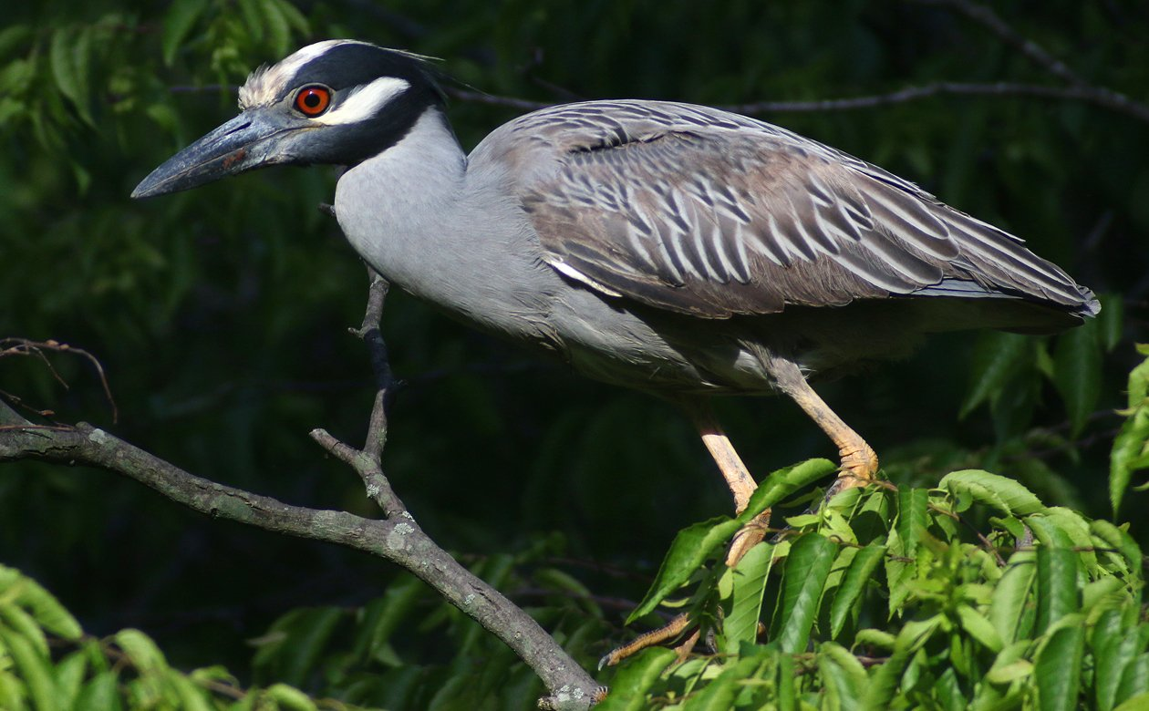 Yellow-crowned Night-Heron looking for a stick