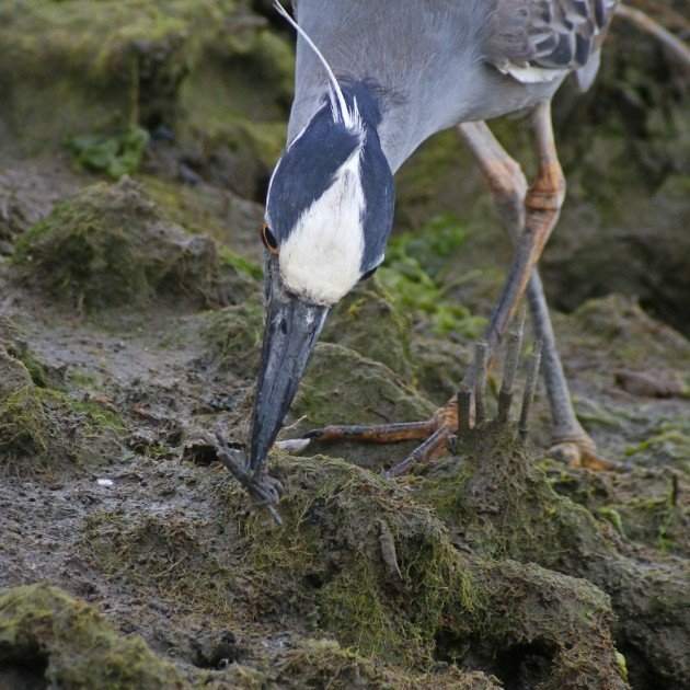 Yellow-crowned Night-Heron with captured crab