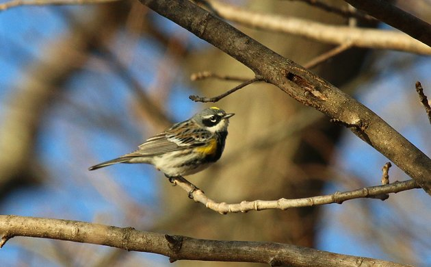 Yellow-rumped Warbler at the Great Vly