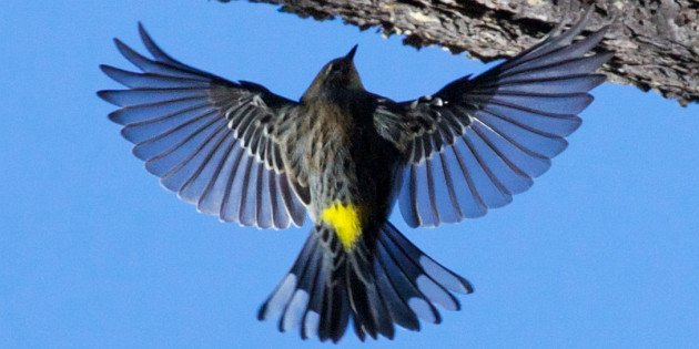 Yellow-rumped Warbler cc-by-sa David Brossard