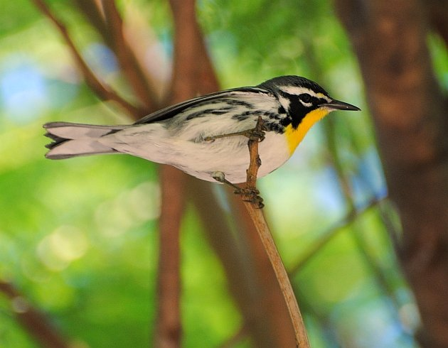 Yellow-throated Warbler Jan 2015