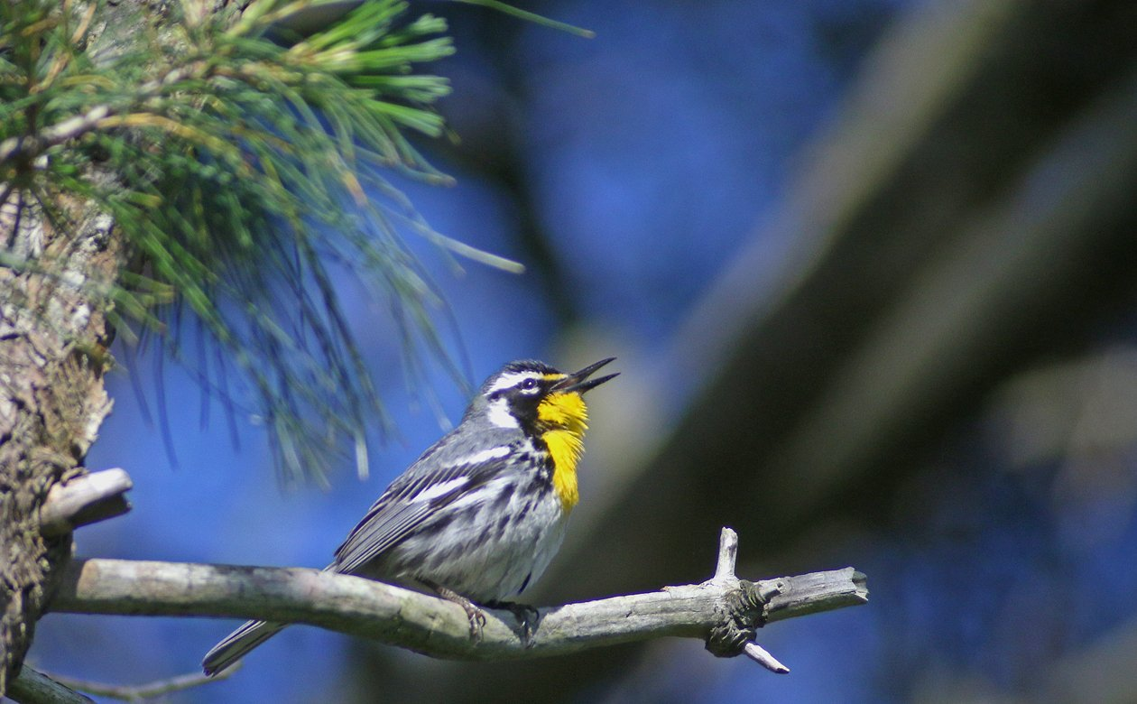 Yellow-throated Warbler at Connetquot