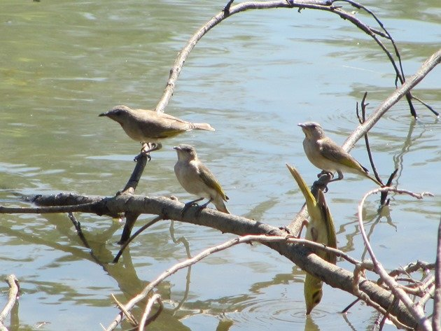 Yellow-tinted Honeyeater & Rufous-throated Honeyeaters (2)