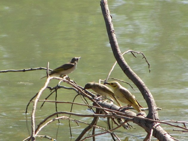 Yellow-tinted Honeyeater & Rufous-throated Honeyeaters