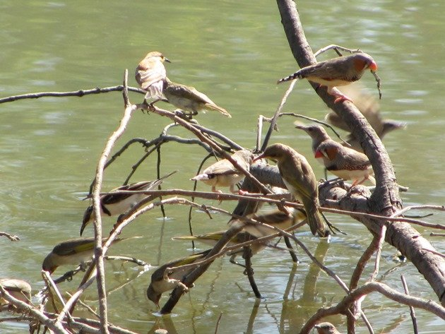 Zebra Finch,Banded Honeyeater & Rufous-throated Honeyeaters (2)