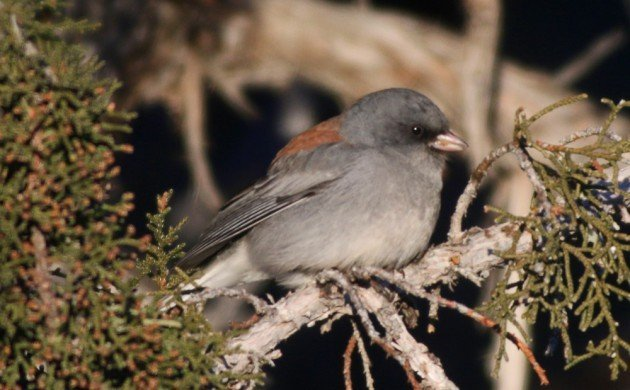 Zion Dark-eyed Junco