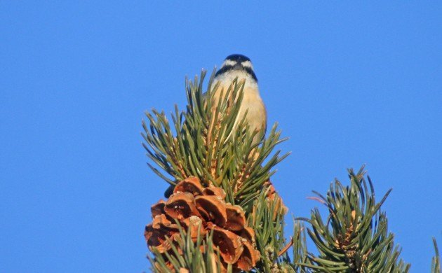 Zion Red-breasted Nuthatch blue sky