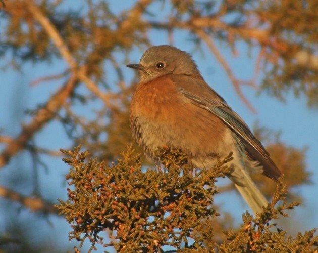 Zion Western Bluebird