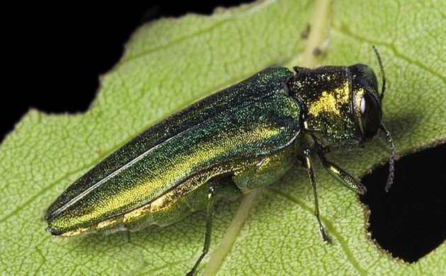 Emerald Ash Borers vs. Woodpeckers (and Nuthatches)