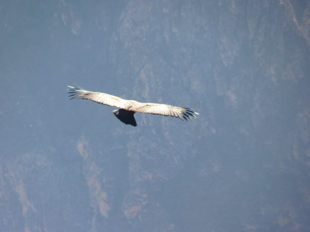 andean condor, nature, birding, condor, columbia