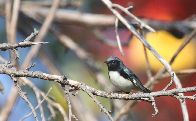 autumn Black-throated Blue Warbler