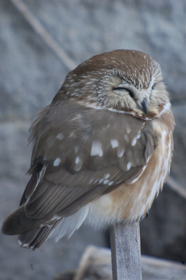 awake saw whet owl