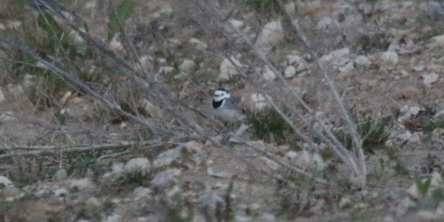 Biting the bullet or jumping the shark? A potential Baikal Wagtail in Germany