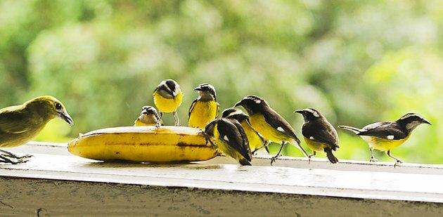 bananaquits