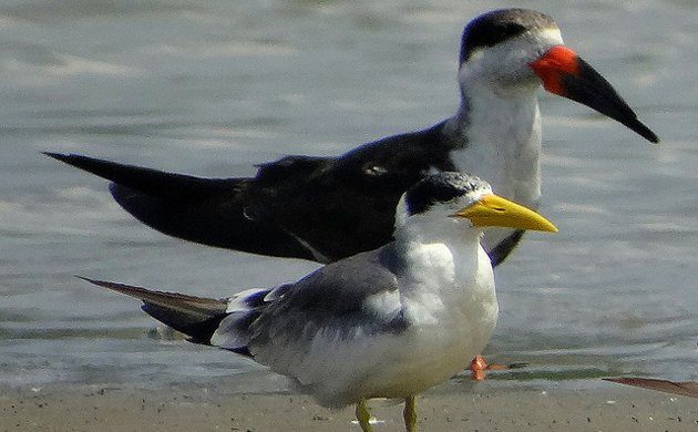 tern and skimmer