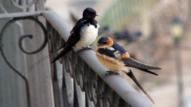barn swallow + redrumped swallow