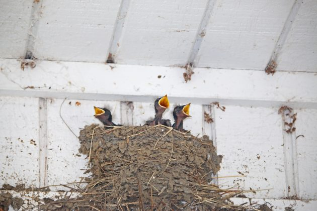 barn swallows, babies, nature