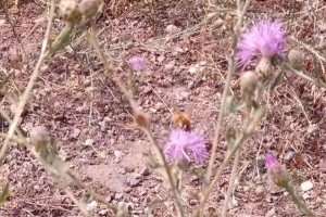 Honeybee on spotted knapweed, Missoula MT