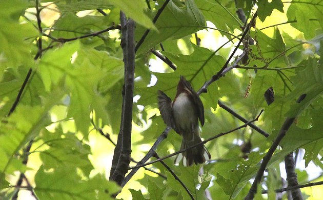 Bay-breasted Warbler in Forest Park
