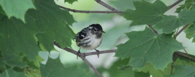 melanistic Black-and-white Warbler