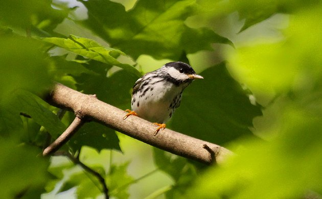 male Blackpoll Warbler at Forest Park