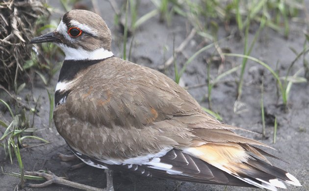 Killdeer at Big Egg Marsh