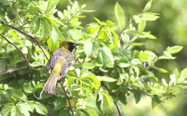 Orchard Oriole at Edgemere Landfill