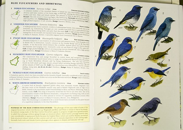 blueflycatchers.600