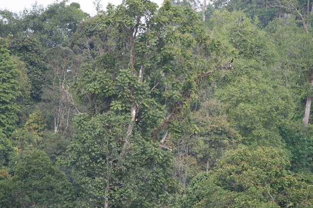 borneo forest with hornbills