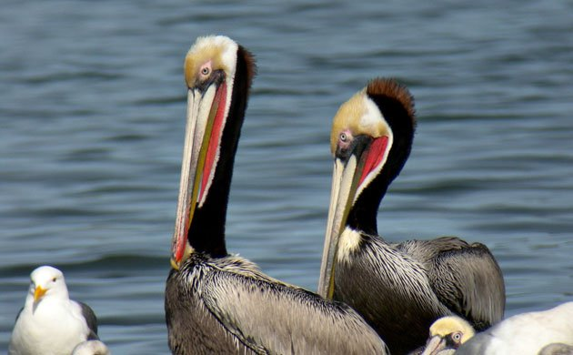 brown-pelican-breeding-Len-Blumin-CC-Flickr-ready