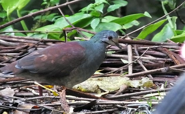 buff-fronted quail dove