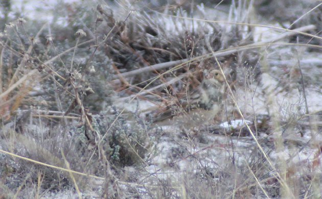 Lapland Longspur in dune vegetation