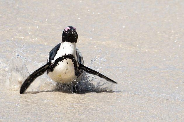 capetown.penguin1.63